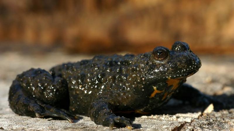 Rote Liste: Amphibien und Reptilien gefährdeter als andere Arten