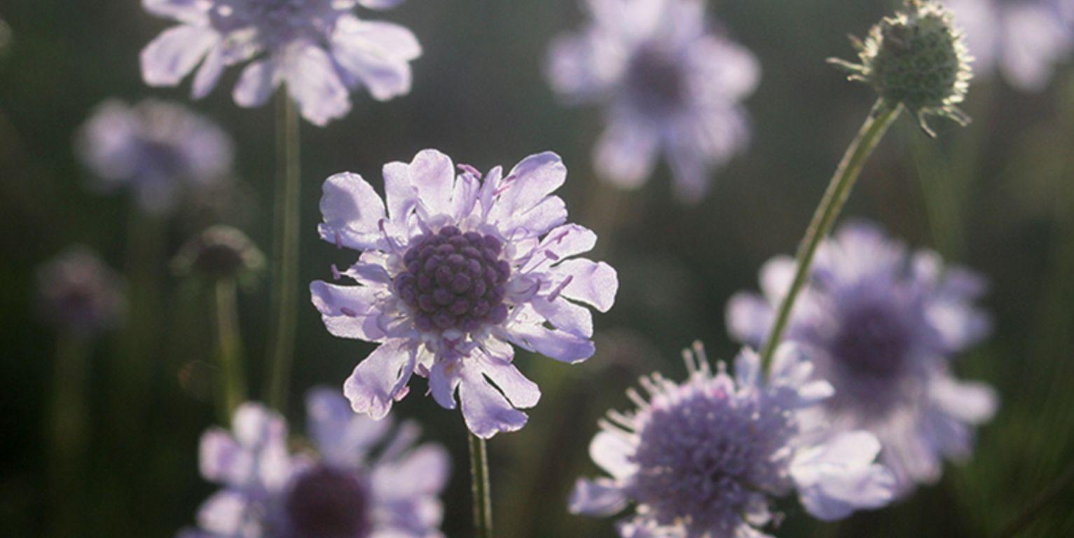 BMU rettet seltener Spätblüher in Mitteldeutschland