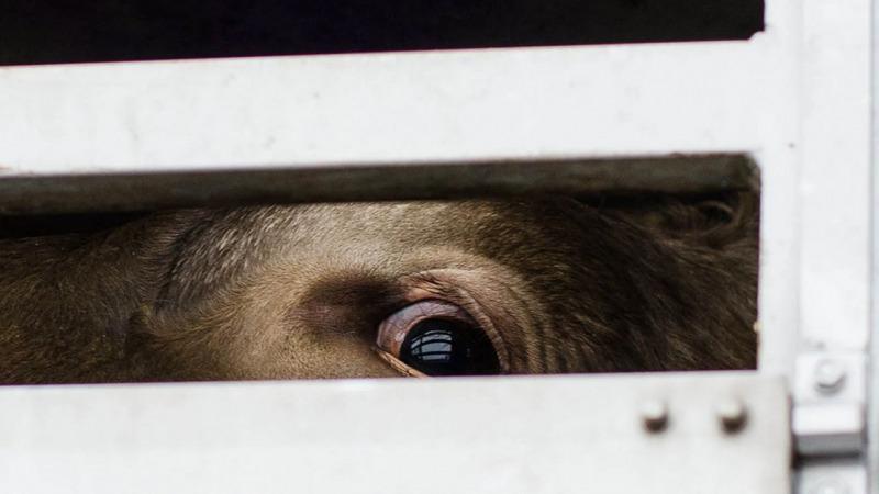 PETA initiiert europaweite Protestaktionen gegen Tiertransport