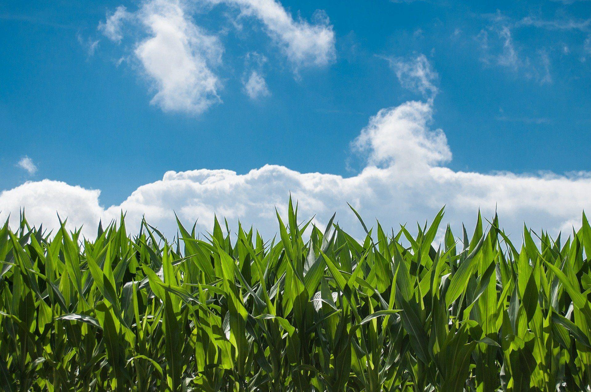 EU-genehmigt zehn gentechnisch veränderte Organismen