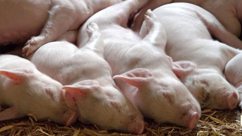 EU-Parlament gegen strengere Antibiotikaregeln