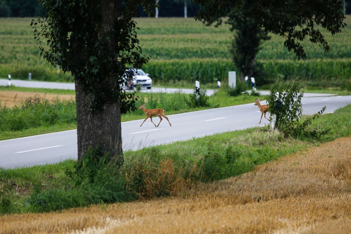 Kaum Wissen über Auswirkung von Straßen auf Leben der Wildtiere
