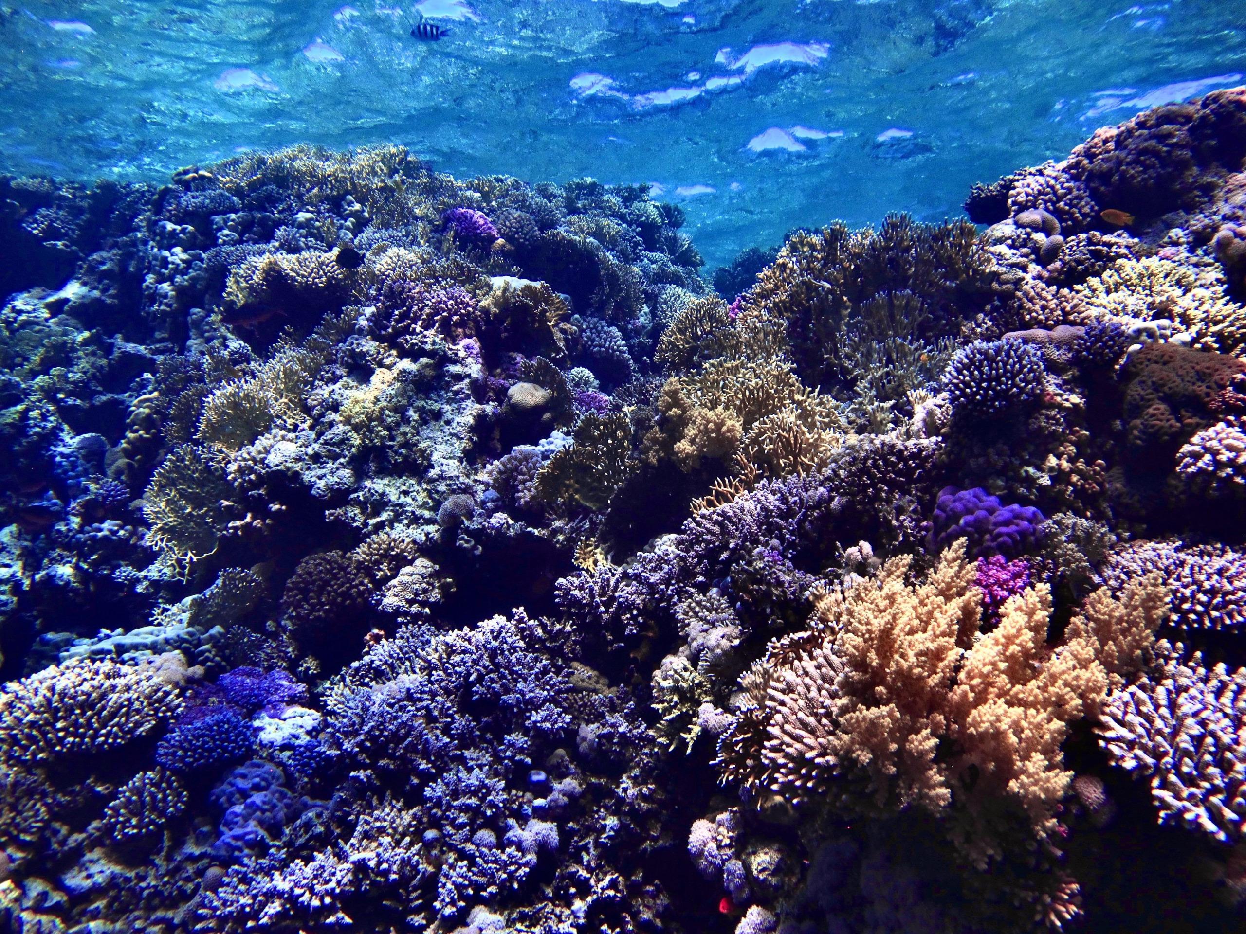 Bakterien und Viren helfen Korallen